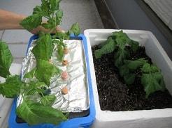 水耕栽培と土耕栽培の大葉