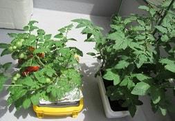 水耕栽培と土耕栽培のミニトマト